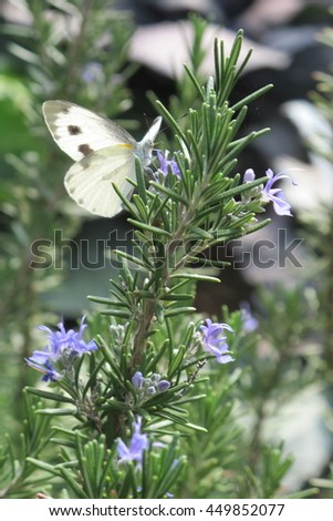 Butterfly on a rosemary tree in flower garden . - stock photo