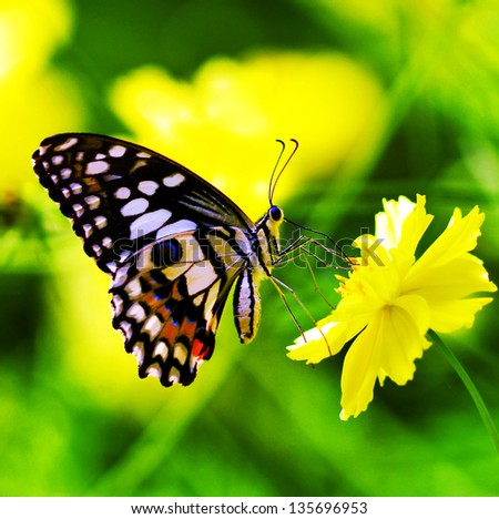 Butterfly on a yellow  flower - stock photo