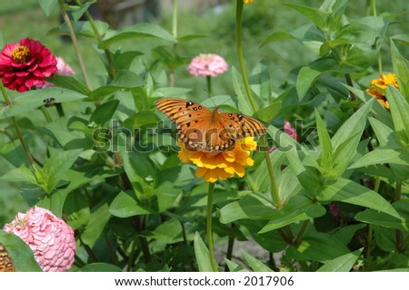 Butterfly on a Zinnia - stock photo