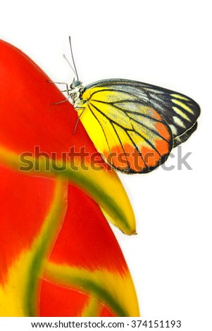 butterfly on beautiful red Heliconia flower isolated on a white background  - stock photo