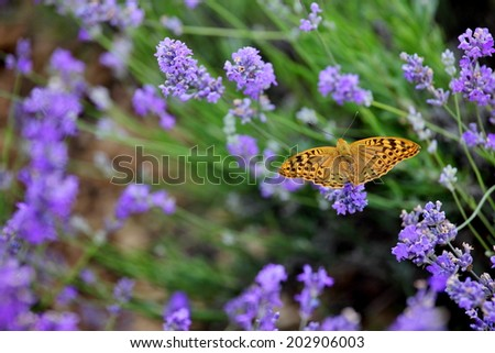 Butterfly on blooming lavender flowers - stock photo