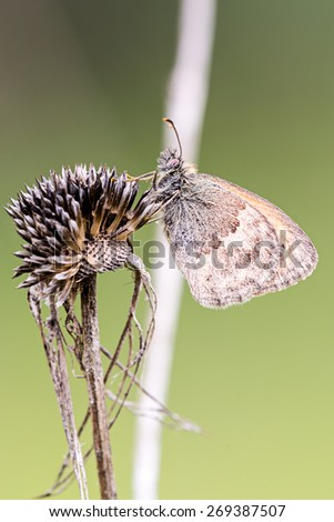 Butterfly on dried flower - stock photo