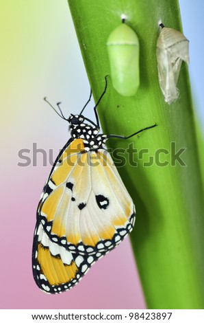 Butterfly on leaf after emerging from an chrysalis - stock photo
