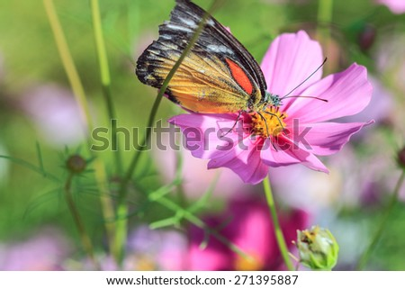 butterfly On pink cosmos vivid flower, macro photography - stock photo