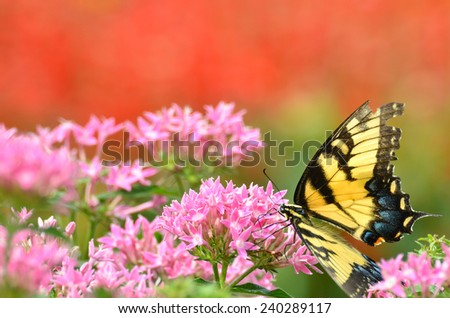Butterfly on pink flowers with red background  - stock photo