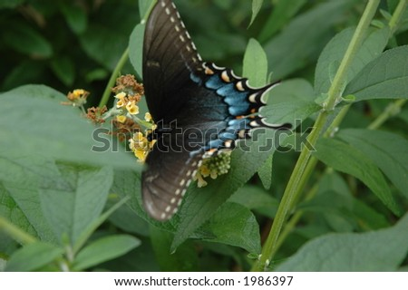 Butterfly on the Butterfly bush - stock photo