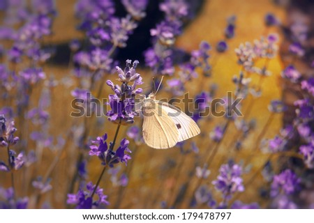 Butterfly on the Lavender in Garden - stock photo