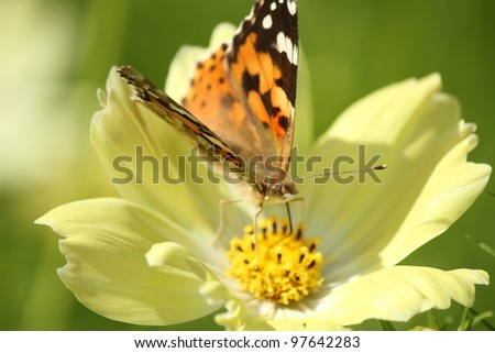 Butterfly on yellow cosmos flower,close up shot - stock photo