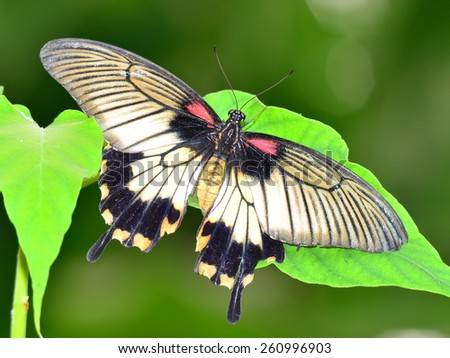 butterfly papilio memnon - stock photo