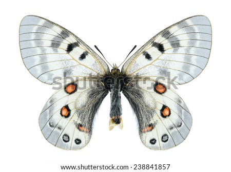Butterfly Parnassius delphius constans (female) on a white background - stock photo