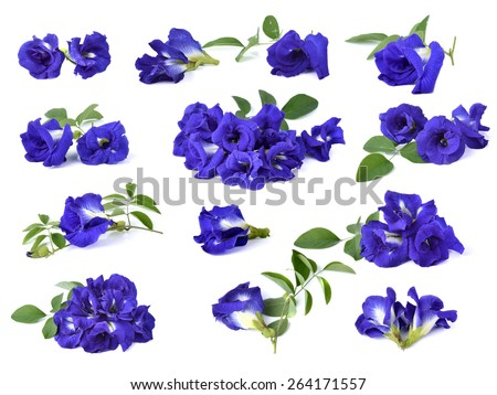 Butterfly Pea flower on white background  - stock photo