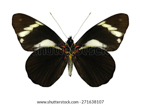 Butterfly Pereute telthusa on a white background - stock photo