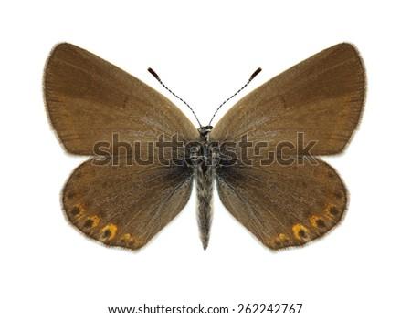 Butterfly Plebejus argyrognomon (female) on a white background - stock photo