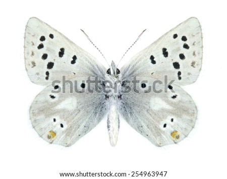 Butterfly Plebejus pyrenaica ergane (male) (underside) on a white background - stock photo