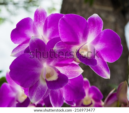 Butterfly purple orchid flower,peach Butterfly 0rchid flower blooming in the garden - stock photo