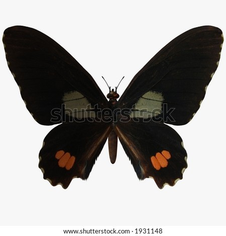 Butterfly-Ruby Swallow Tail - stock photo