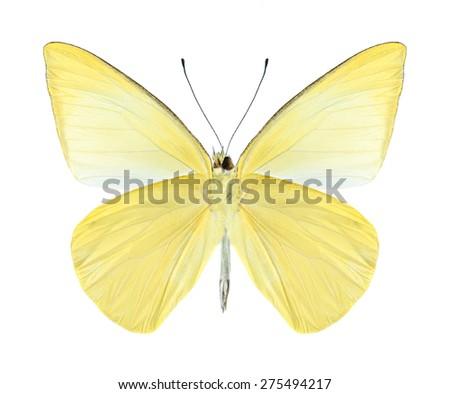 Butterfly Saletara liberia distanti (underside) on a white background - stock photo
