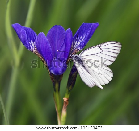 Butterfly sitting on a blue iris - stock photo