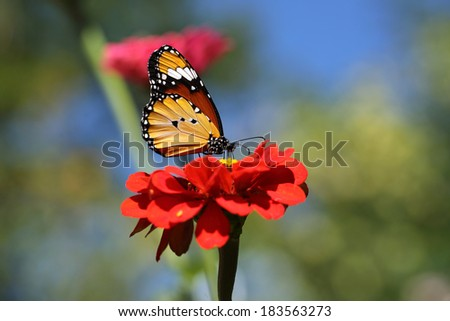 Butterfly sitting on red flower - stock photo