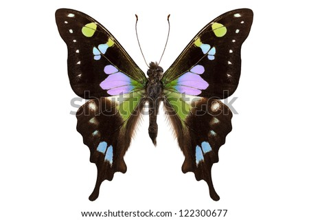 "Butterfly species Graphium weiskei ""Purple Spotted Swallowtail"" in high definition extreme focus isolated on white background - stock photo"