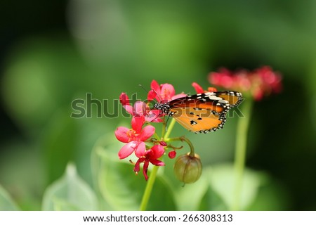 Butterfly sucking nectar from a  flower  - stock photo