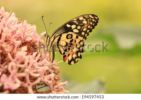 Butterfly sucking nectar from a pink flower - stock photo