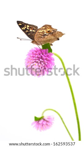 Butterfly ( The Lemon Pansyon ) Flower isolated on white background - stock photo