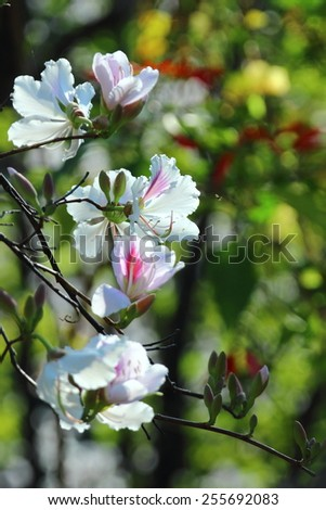 Butterfly Tree, Orchid Tree, Purple Bauhinia) is native to southern China, including Hong Kong and Southeast Asia. - stock photo
