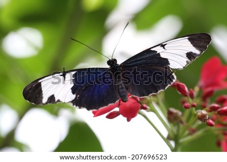 Butterfly with a blueish tint and white spots on the wings. - stock photo
