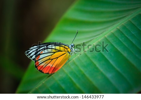 Butterfly with banana leaves. - stock photo