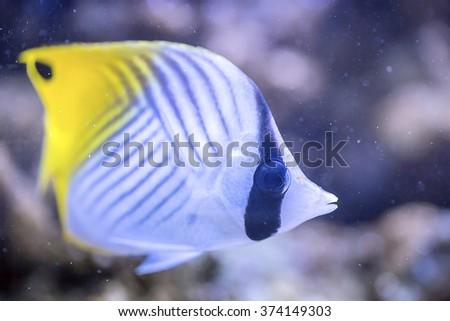 Butterflyfish - Chaetodon auriga - stock photo