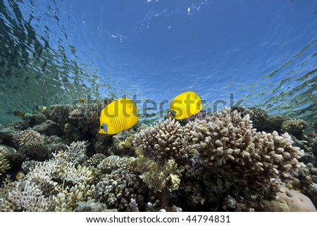 butterflyfish, ocean and coral - stock photo