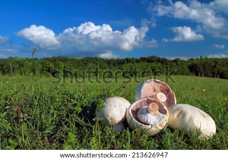 Button or champignon mushroom on greeen grass meadow - stock photo
