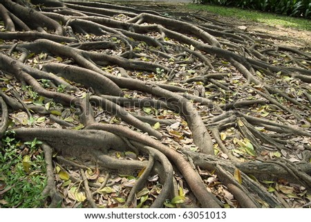 Buttress Root tree - stock photo