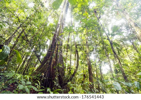 Buttressed rainforest tree with lianas, looking up to the canopy, Ecuador - stock photo