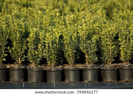 buxus potted  - stock photo