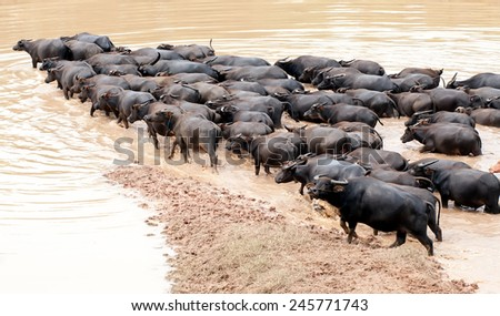 CA MAU, JULY, 29: River area south of Vietnam, people the drop buffalo freedom on JULY, 29, 2014 in, Ca Mau, VietNam. - stock photo