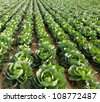 Cabbage field - stock photo