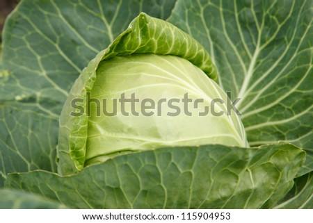 Cabbage head - stock photo