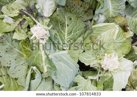 Cabbage leaves decomposing on a compost heap - stock photo