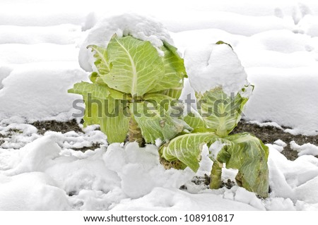 Cabbage plants in a snowy vegetable bed - stock photo