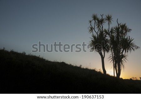 Cabbage trees silhouetted in landscape at dawn. - stock photo