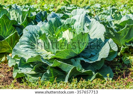 Cabbage vegetable in garden - stock photo