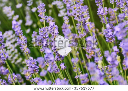 Cabbage White Butterfly on the Lavender Flower - stock photo