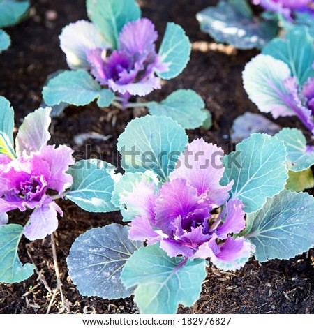 Cabbages grows in the garden. - stock photo