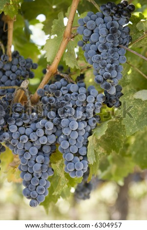 cabernet grapes hang in the vineyard - stock photo