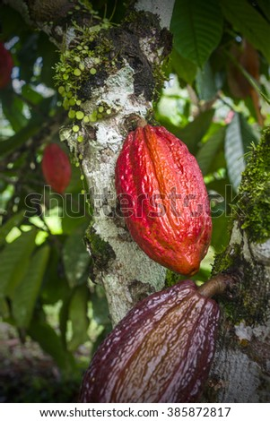 Cacao plant with fruits - stock photo