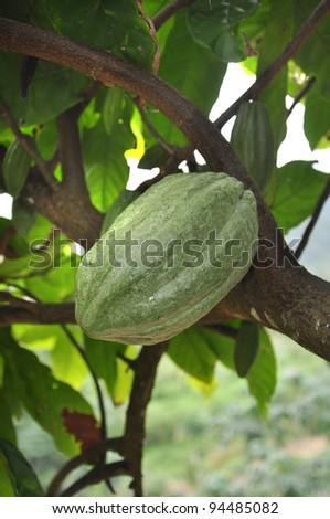cacao pod on tree - stock photo