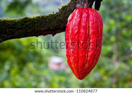 cacao pod on tree (theobroma cacao) - stage of ripening - stock photo