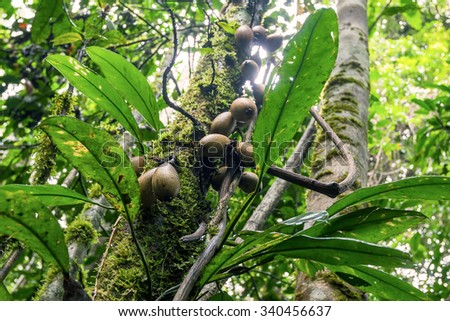 Cacao Tree Is A Small Evergreen Tree, Cocoa Pods, Amazonia Rainforest, South America - stock photo